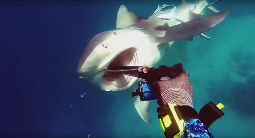 Тупорылая акула атакует подводного охотника / Shark Attack - Bullshark Attacks Spearfisherman