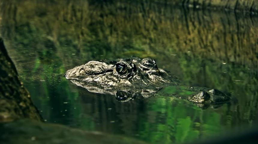 Крокодил (Сатурн) из московского зоопарка