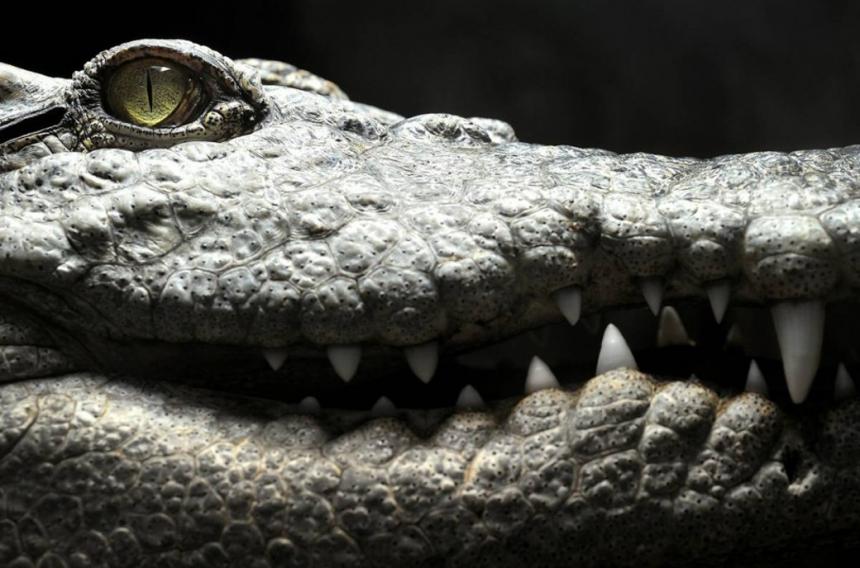 Сиамский крокодил (Камбоджа)