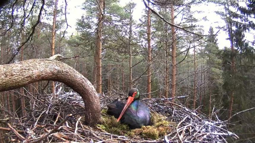 Прямая трансляция из гнезда чёрных аистов (Эстония)