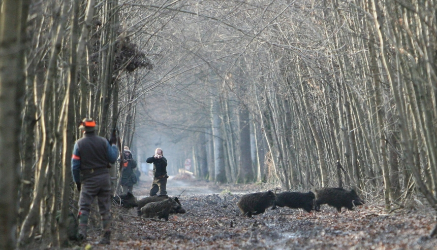 Загонная охота на кабанов