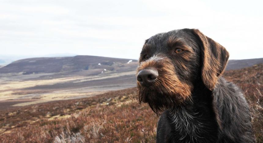 Охотничьи собаки - дратхаар и курцхаар