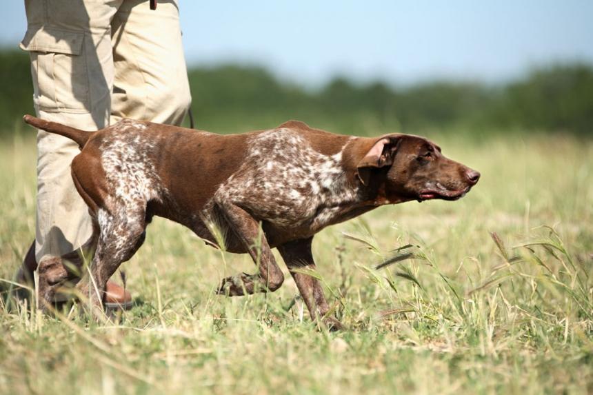 Охотничьи собаки из Германии
