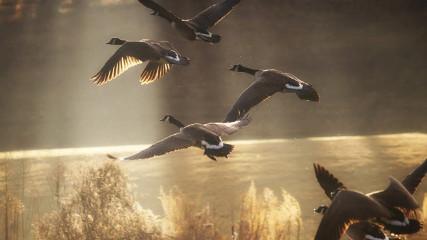 Как охотиться на дикого гуся