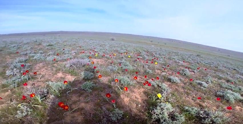 Мотопоход - Цветение тюльпана Шренка (гора Большое Богдо)