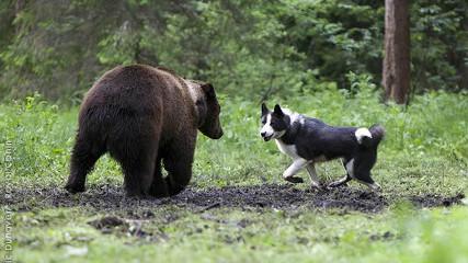 Охотничьи собаки. Восточно-сибирские лайки
