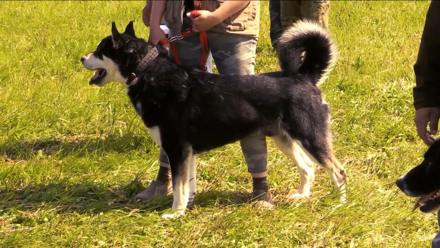 Всероссийская выставка охотничьих собак (видео)