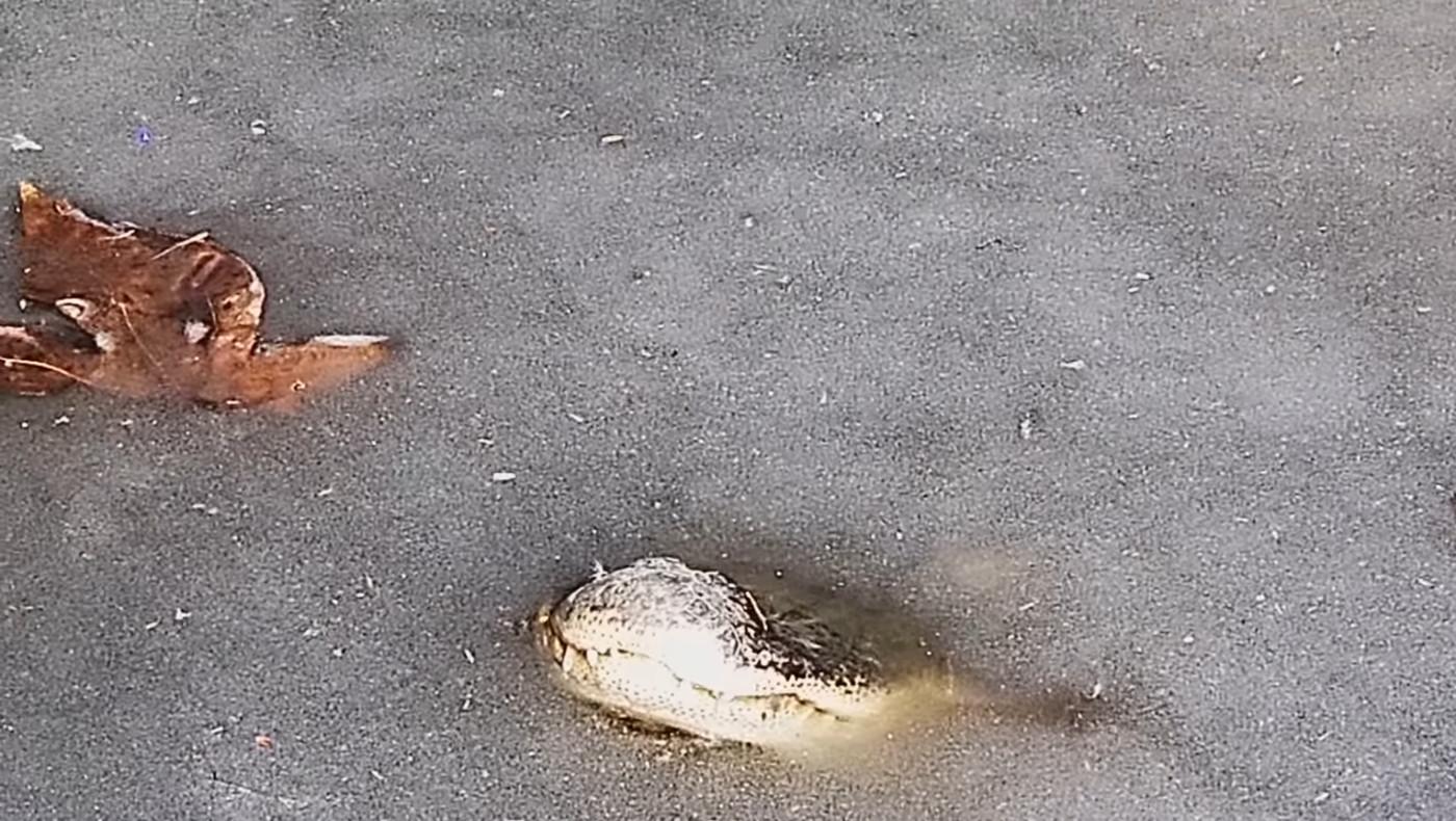 В США замерзли аллигаторы в водоемах
