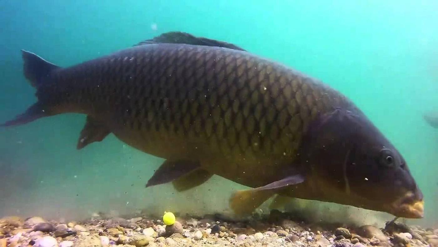 Подводная охота на крупного сазана (Нижняя Волга)