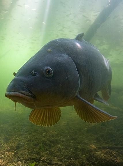 Роман Болдов: Подводная охота на крупного сазана (Нижняя Волга)