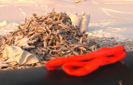 (Загар рыбы) - Зимняя промысловая рыбалка на Севере