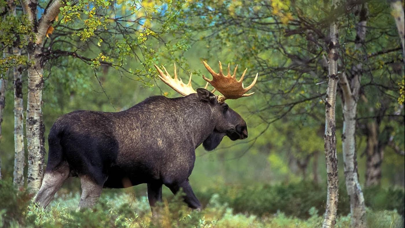 Охота на лося в Якутии