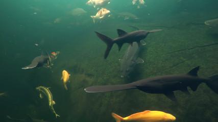 В Астрахани завершается зарыбление выростных прудов (веслонос в Астрахани)