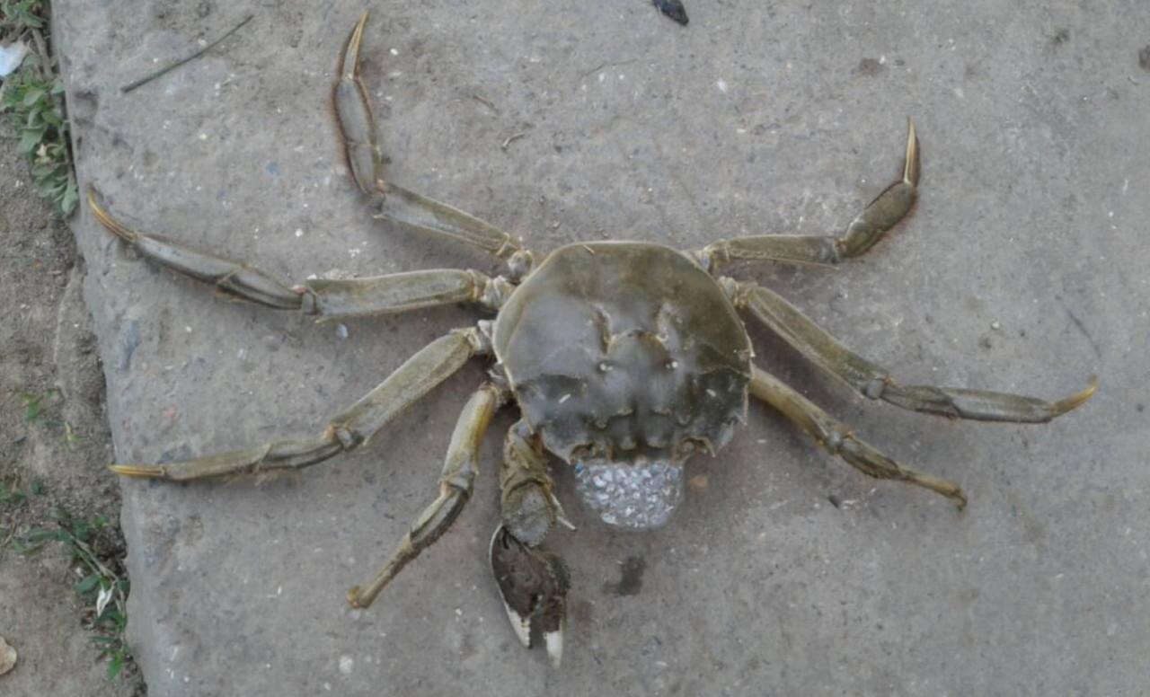 Мохнаторукого краба обнаружили в Одесской области