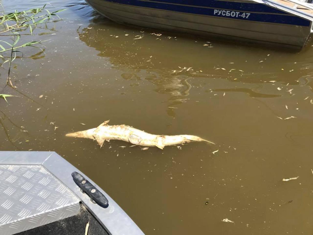 В Астрахани гибнет рыба