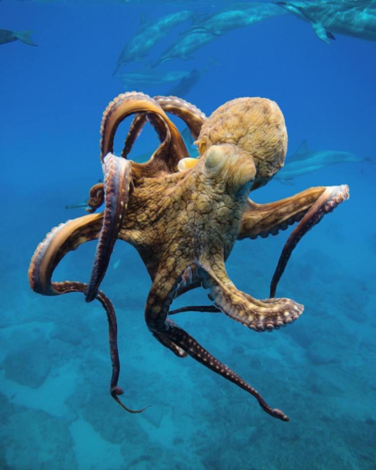 Осьминоги - это невероятно! У них три сердца, девять мозгов, и голубая кровь.