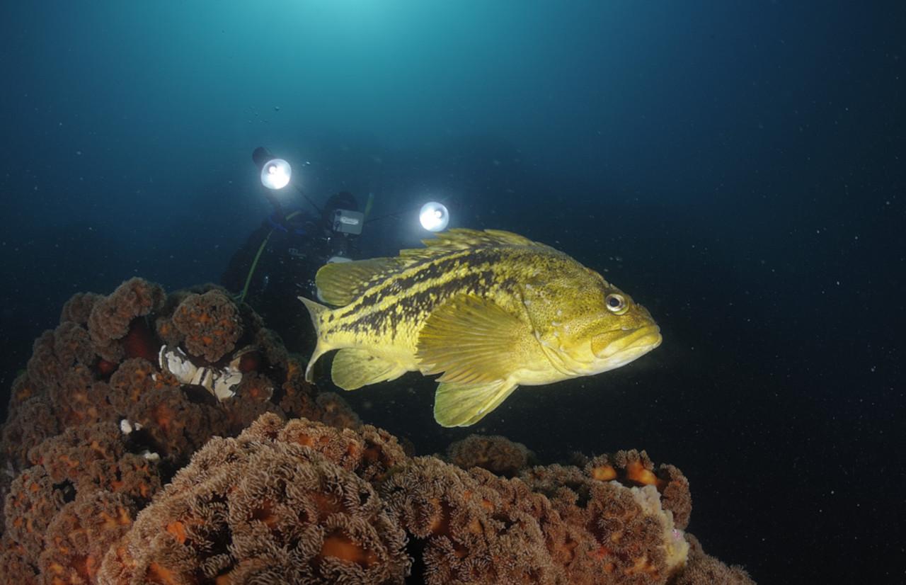 Желтый морской окунь / Threestripe rockfish