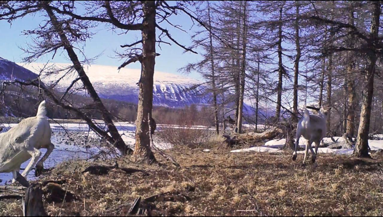 Олени испугались! / Фото: Заповедники Таймыра
