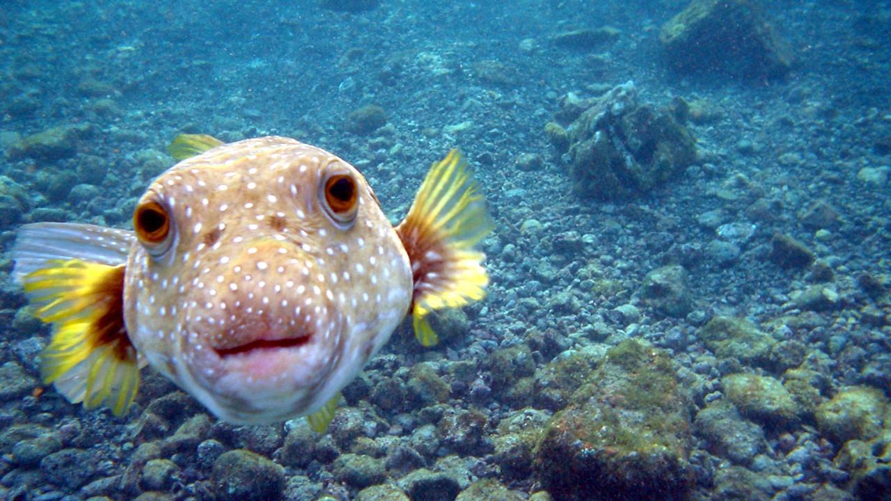 Рыба Фугу - самая умная рыба