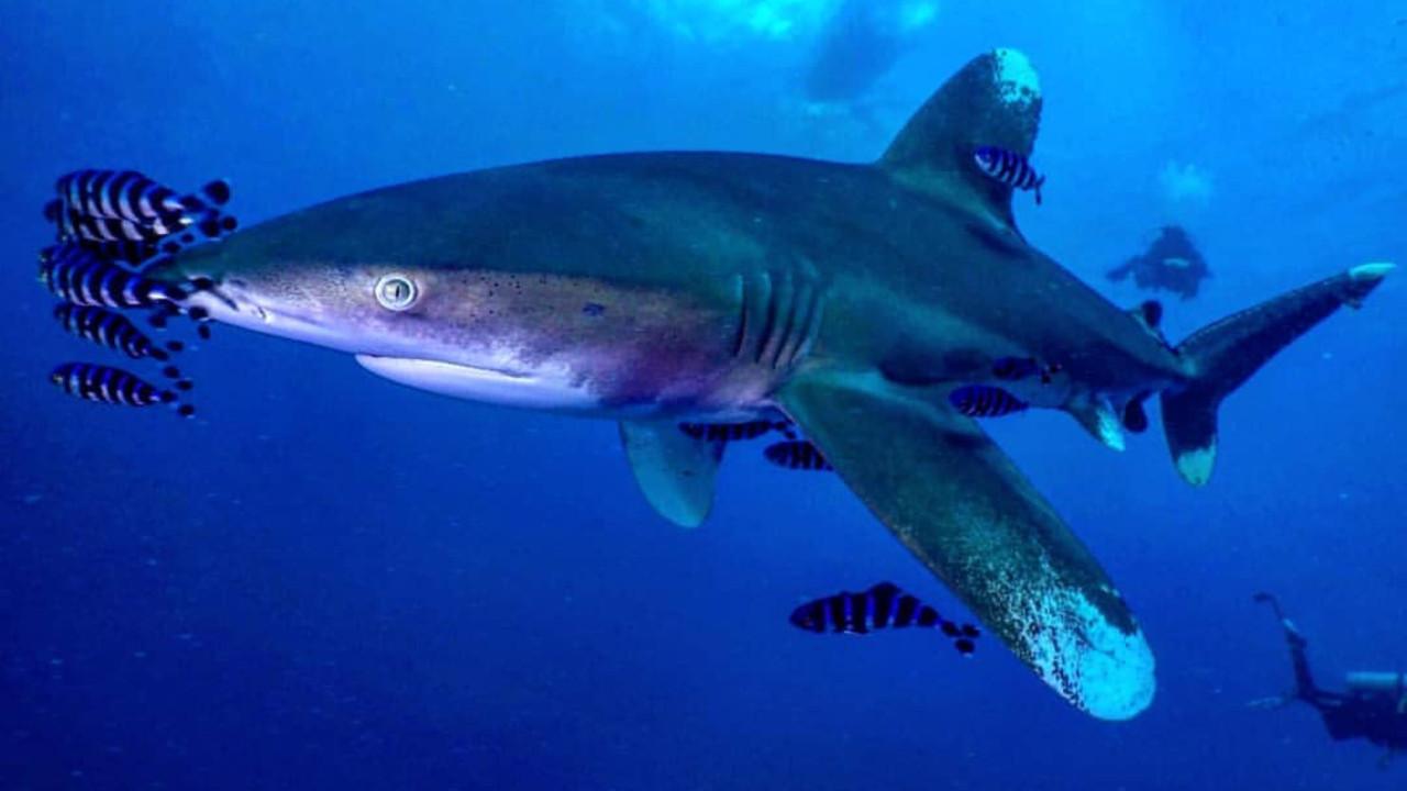 АКУЛЫ в Красном Море / SHARKS in the Red Sea